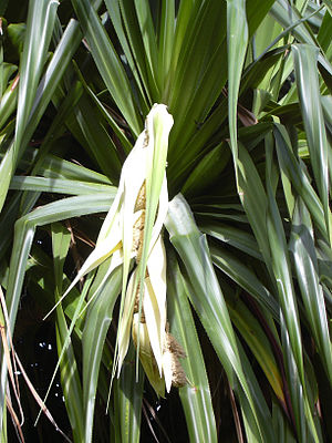 Lauhala - Rare male flower of hala (Pandanus tectorius)