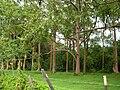 Starr 050107-2943 Eucalyptus deglupta.jpg