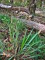 Starr 050115-3087 Setaria parviflora.jpg