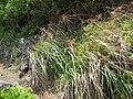 Starr 050419-6504 Cyperus javanicus.jpg