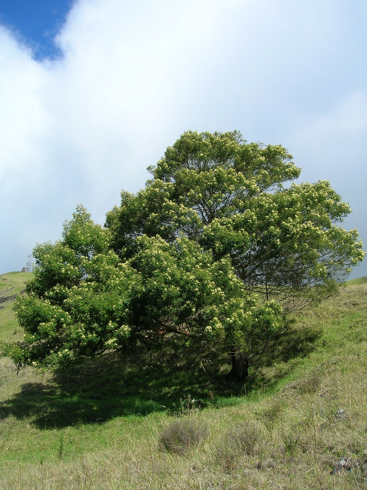 Acacia mearnsii wikip dia for Acacia bois de chauffage