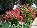 Starr 061201-1750 Euphorbia pulcherrima.jpg