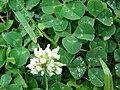 Starr 070313-5644 Trifolium repens.jpg