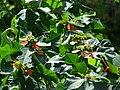 Starr 080531-5037 Euphorbia cyathophora.jpg