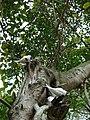 Starr 080610-8087 Ficus benghalensis.jpg