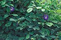 Starr 980529-1406 Clitoria ternatea.jpg