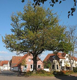 Wunstorf - Steinhude (Peace oak) Friedenseiche