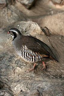 Rock partridge Species of bird