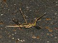 Stick Grasshopper (Truxalis burtti) on the road at 5-00 am (11682247925).jpg