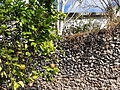 Still Life with Orange Tree and Stone Wall - Izamal - Merida - Mexico.jpg