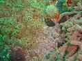 Strawberry anemones at Caravan Reef DSC00997.JPG