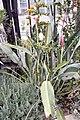 Strelitzia reginae Kirstenbosch Gold 4zz.jpg