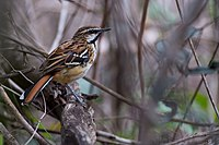 Stripe-backed Antbird Myrmorchilus strigilat.jpg