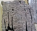 Stromatolitic limestone (Chencha Formation, upper Neoproterozoic, 580 Ma; Patom Upland, Siberia, Russia) 2 (17370036792).jpg