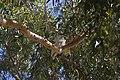 Sulphur-crested Cockatoo's in a Eucalyptus camaldulensis.jpg