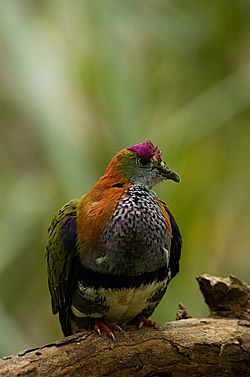 Superb Fruit-dove (Ptilinopus superbus).jpg