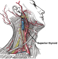 Superior thyroid.PNG