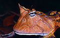 Suriname Horned Frog (Ceratophrys cornuta) close-up (14116178294).jpg