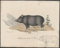 Sus scrofa domestica - 1700-1880 - Print - Iconographia Zoologica - Special Collections University of Amsterdam - UBA01 IZ21900143.tif