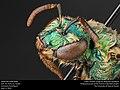 Sweat bee (Halictidae) (27784859454).jpg