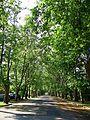 Sycamores of Gyümölcs street - panoramio.jpg