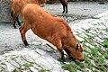 Syncerus caffer nanus Dvur zoo 2.jpg