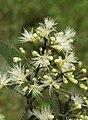 Syzygium zeylanicum flowers 57.jpg