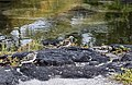 THREE Ruddy Turnstone birds, Arenaria interpres - 'Akekeke (33566418701).jpg