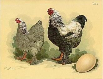 Brahma chicken - Dark Brahma cock and hen, illustration from  Jean Bungartz, Geflügel-Album, 1885