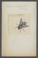 Tabanus - Print - Iconographia Zoologica - Special Collections University of Amsterdam - UBAINV0274 038 06 0010.tif