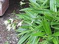 Talbotia elegans0.jpg