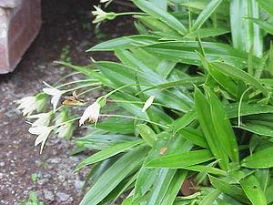 Pandanales - Talbotia elegans