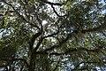 Tallahassee tree.jpg