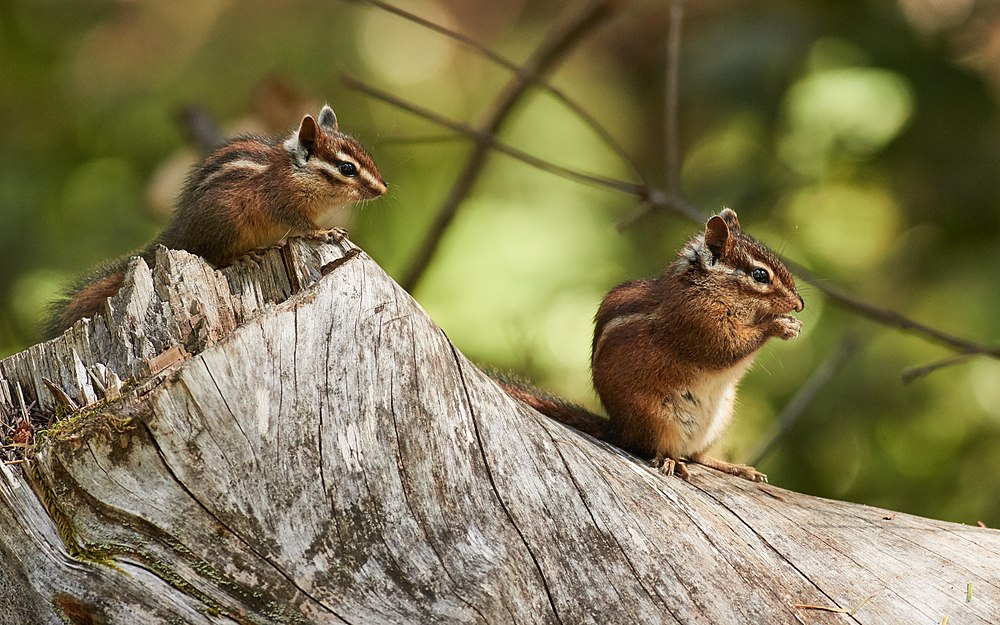 The average litter size of a Sonoma chipmunk is 4