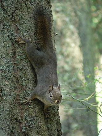 Douglas squirrel - Anacortes Community Forest Lands (Washington)