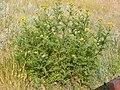 Tanacetum vulgare (4536288547).jpg