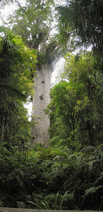 Waipoua Forest - Tāne Mahuta, Lord of the Forest, is the largest living kauri tree in New Zealand.