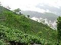 Tea plantation (7168542665).jpg