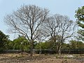 Tellavirugudu (Telugu- తెల్లవిరుగుడు) (2427187521).jpg