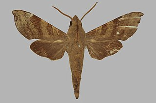<i>Temnora peckoveri</i> Species of moth