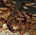 Termites (Nasutitermes sp.) with alates (15495468128).jpg
