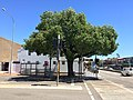 The Tree of Knowledge on the corner of Monaro and Crawford Streets, Queanbeyan.jpg