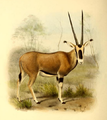 The book of antelopes (1894) Oryx callotis.png