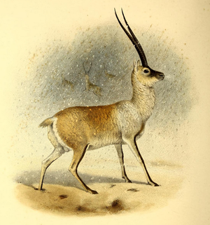 Tibetan antelope - Image: The book of antelopes (1894) Pantholops hodgsoni