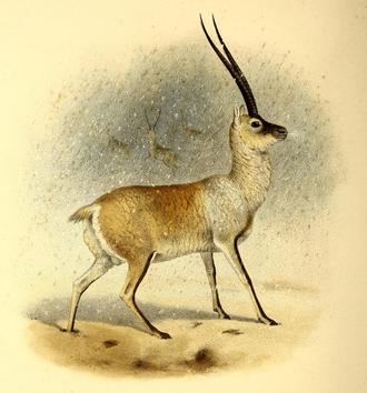Tibetan antelope - Image: The book of antelopes (1894) Pantholops hodgsoni