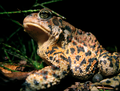 The most spectacular toad of the year. (6186972947).png