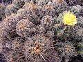 Thelocactus leucacanthus pm.jpg