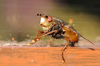 Tachinidae - Tachina fera