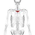 Thoracic vertebra 4 posterior.png