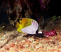Threadfin Butterfly Fish.jpg